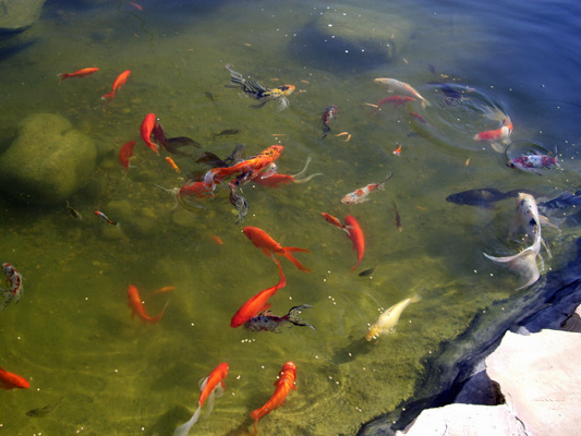 Untitled document for Koi pond maintenance near me